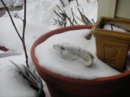 snow hare